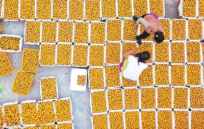 四川阆中:农家枇杷喜迎丰收